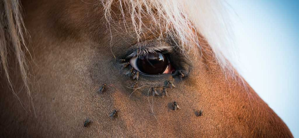 How to make homemade fly spray for your horse