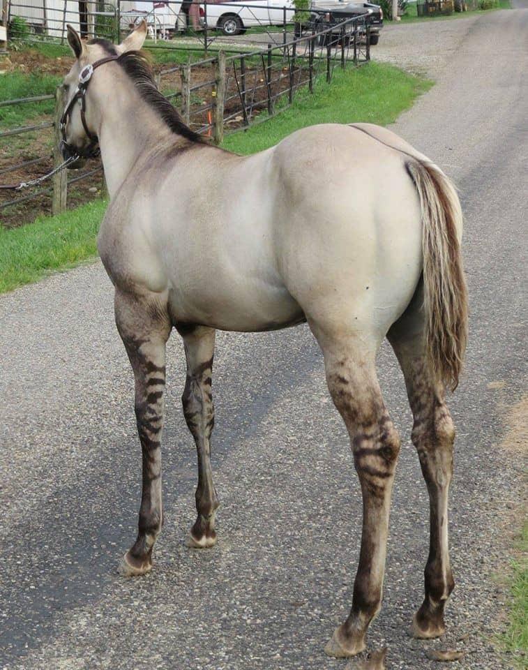 dun horses legs