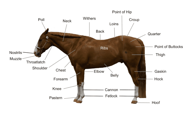 Horse Diagram – The Main Body Parts of a Horse