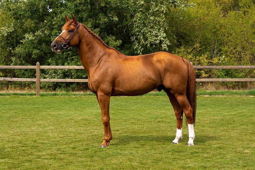 Warmblood Horse 3- Selle Francais