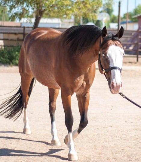 Bald Face Horse