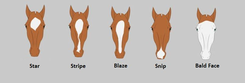 Common Horse Face Markings